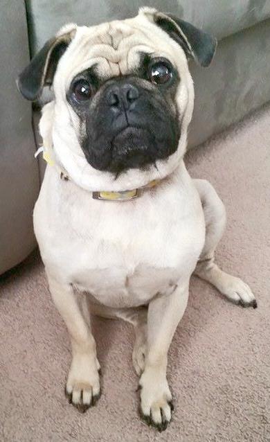 Lost Missing Dog Pug Palestine Tx Usa 75801 On