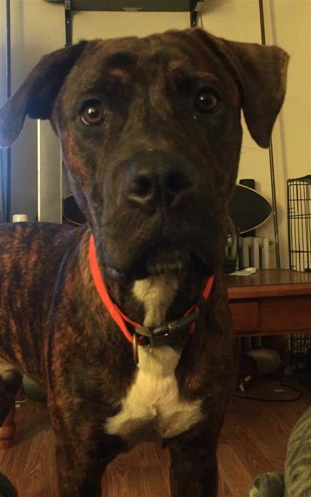 Lost, Missing Dog - American Bulldog - Seat Pleasant, MD ...