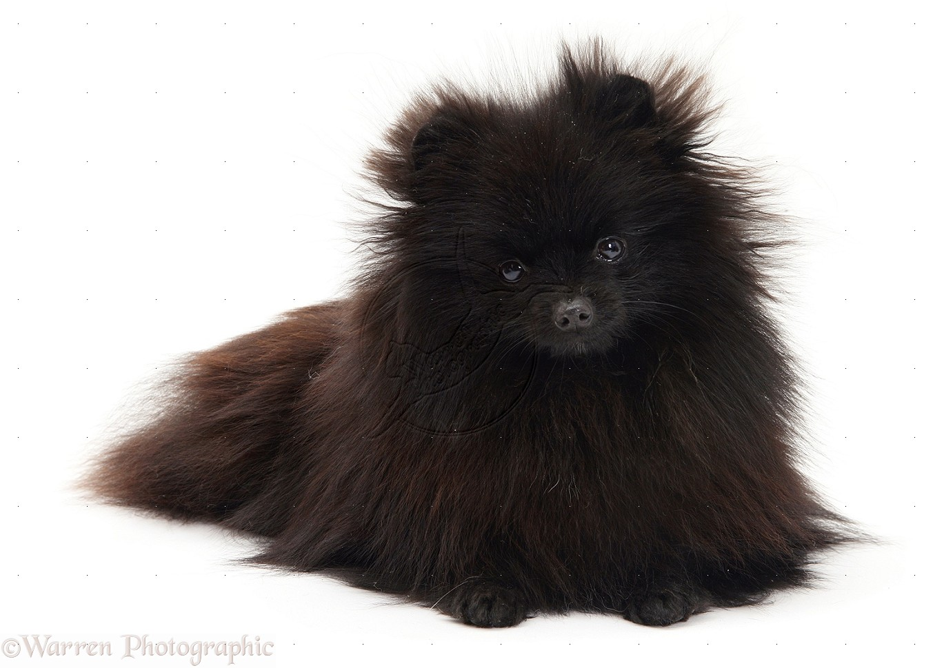 Oshkosh (WI) United States  city photo : ... Pomeranian Toy Oshkosh, WI, United States 54902 on March 17, 2014