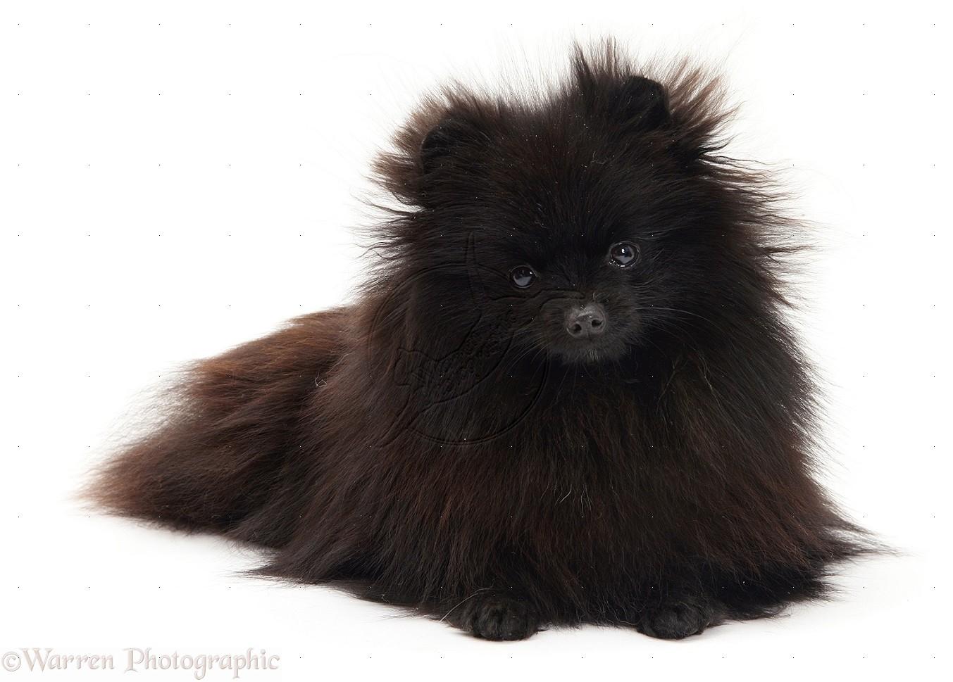 Lost Missing Dog Pomeranian Toy Oshkosh Wi Usa