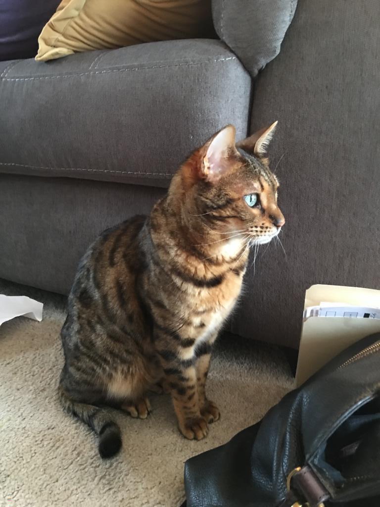 Lost, Missing Cat - Bengal - Seekonk, MA, USA 02771 on ...