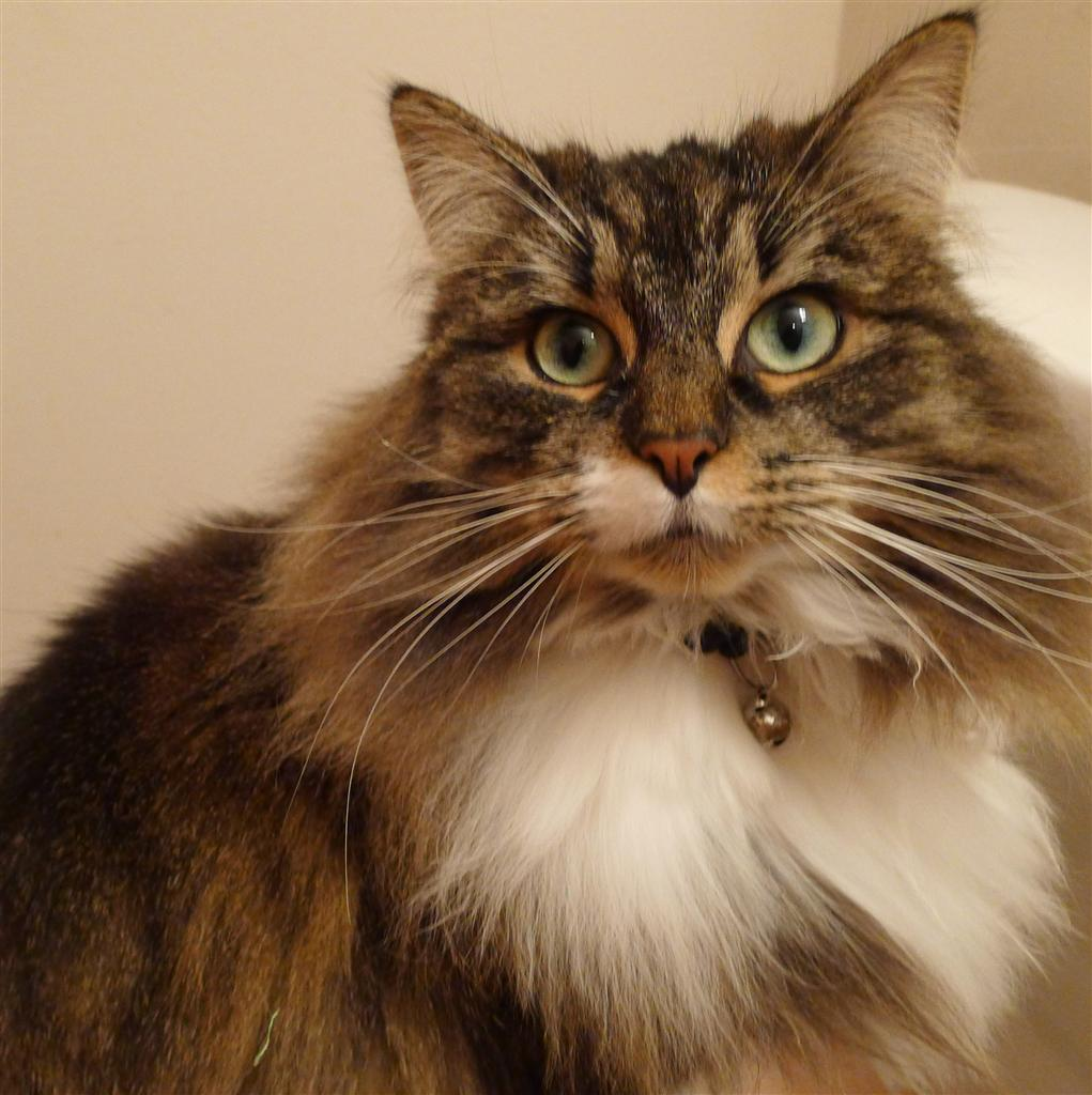 Пропавшего кота нашли, он стал в два раза больше